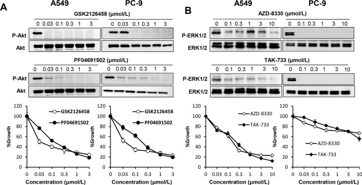 Both <t>PI3K/Akt</t> and MAPK signaling pathways are essential in lung cancer cells harboring wild-type <t>EGFR</t> ( A ) PI3K inhibition suppressed proliferation of lung cancer cells harboring mutant or wild-type EGFR . A549 and PC-9 cells were incubated in the presence of various concentrations of GSK2126458 or PF04691502. Cell extracts were prepared after 1 h of treatment and immunoblotted with the indicated antibodies (upper panel). Cell growth was measured by MTT assay after 72 h (lower panel). ( B ) MEK inhibition suppressed proliferation of lung cancer cells harboring mutant or wild-type EGFR . A549 and PC-9 cells were incubated in the presence of various concentrations of AZD-8330 or TAK-733. Cell extracts were prepared after 1 h of treatment and immunoblotted with the indicated antibodies (upper panel). Cell growth was measured by MTT assay after 72 h (lower panel).