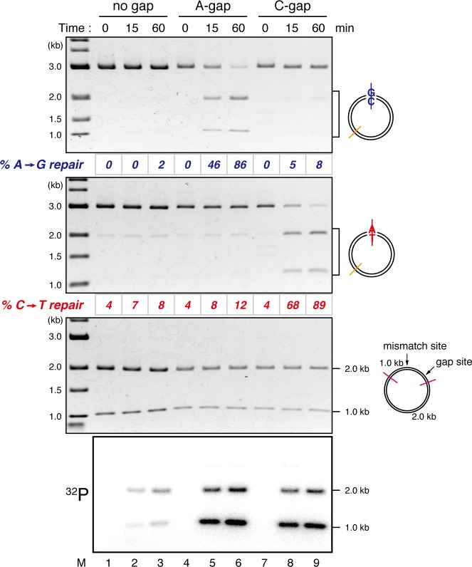 Detection of tracts of DNA repair synthesis during gap-directed MMR in NPE. Covalently closed (lanes 1–3), A-strand-gap-carrying (lanes 4–6) or C-strand-gap-carrying pMM1 AC (lanes 7–9) was incubated in NPE, and sampled at the indicated times. DNA was purified and digested with Xmn I and either Bam HI (upper, A to G repair) or Xho I (middle, C to T repair). To analyze the incorporation of radioactivity, DNA was digested with Drd I (bottom). α-[ 32 P]-dCTP was preferentially incorporated into the 1 kb fragment corresponding to the shorter path between the gap and the mismatch in both 5'-gap- and 3'-gap-directed MMR. DOI: http://dx.doi.org/10.7554/eLife.15155.005