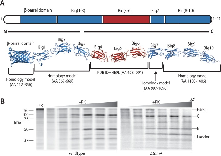 """The assembly of FdeC is enhanced by the TAM. (A) The domain architecture of FdeC is represented based on PDB structures and homology-modeled domains. The predicted overall structure of intact FdeC is colored based on the sequence conservation between FdeC subtypes (blue = 95% sequence identity; red = 60% sequence identity). The black lines """"N"""" and """"C"""" encompass the peptides recovered from the 50 kDa fragment and the 100 kDa fragment derived by proteinase K as described in the main text. (B) Escherichia coli harboring plasmid pCJS50( fdeC ) were pulse labeled as in D . Mass spectrometry defined the identity of the 50 kDa N-terminal fragment of FdeC (N), and the 100 kDa C-terminal fragment of FdeC (C)."""