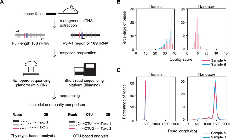 Amplicon sequencing of 16s rDNA gene. ( A ) Schematic workflow to examine the composition of the mouse gut microbiota using the nanopore (MinION) and the short-read (Illumina MiSeq) sequencing. ( B ) The distribution of PHRED quality scores of short-read sequencing data and pass 2D reads of nanopore sequencing data. ( C ) Density plot for length distribution comparison of short-read sequencing data and pass 2D reads of nanopore sequencing data. Each sample is colored separately.