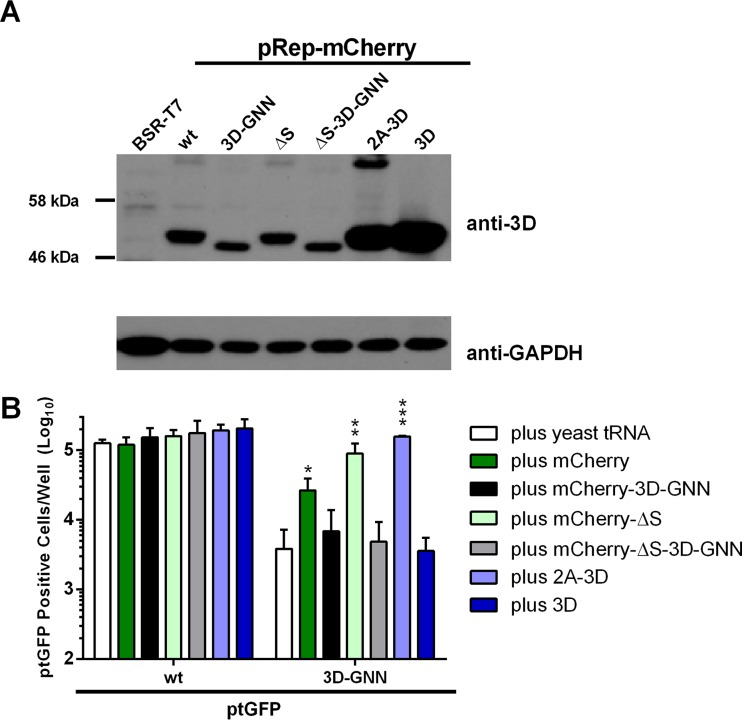 Expression of 3D alone is not sufficient for recovery of 3D mutations. (A) Western blot analysis of helper construct DNA transfected into BSR-T7 cells. Cells were seeded into 12-well plates, allowed to adhere for 16 h, and transfected with DNA constructs as indicated; protein was harvested at 12 h posttransfection. Lysates were analyzed by Western blotting for 3D and GAPDH expression. (B) For reciprocal complementation, BHK-21 cells seeded into 24-well plates were cotransfected with ptGFP replicons bearing the 3D-GNN replication-defective mutation or wild-type control, together with RNA transcripts expressing 3D alone or the entire 2A-3D polyprotein. Cotransfections were also performed with wild-type mCherry or mCherry-ΔS replicon transcripts and the equivalent 3D-GNN mutant constructs. Expression of ptGFP was monitored hourly over a 24-h period. Data represent mean positive cells per well ± SD at 8 h posttransfection. Significance compared to yeast tRNA control ( n = 3): *, P