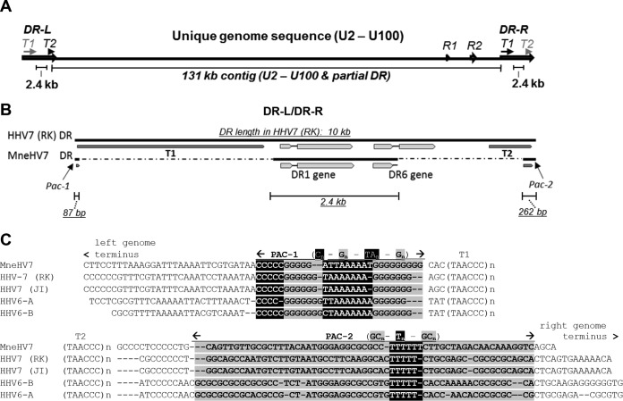 Schematic overview of MneHV7 genomic sequences obtained by de novo assembly. (A) A large contiguous sequence (contig) of 122 kb covering most of the unique MneHV7 genome segment and a smaller contig of 6.8 kb with similarity to the HHV-7 U95 and U100 genes were aligned to the HHV-7 (strain RK) reference genome. The gap between the two contigs consisted mostly of the R2 repeat region and was resolved by long-range PCR and Sanger sequencing. (B) An additional contig of 2.4 kb with similarity to HHV-7 end-terminal repeat elements (DR-L/DR-R) was also identified and contained the sequence for the DR1 gene and the first exon as well as most of the intron of the DR6 gene. (C) Sequences at both ends of the 122-kb contig extended into the end-terminal sequences and exhibited strong similarity with the conserved cleavage-packaging motifs, Pac-1 and Pac-2, of human roseoloviruses flanked by the telomeric repeat regions, T1 and T2. The segments containing conserved nucleotide reiterations (highlighted or shaded) for Pac-1 and Pac-2 and flanking telomeric repeat regions (T1, T2) are indicated. All sequences identified to be part of an end-terminal repeat element were duplicated at both genomic ends, on the basis of homology with HHV-7. The MneHV7 unique genome sequence and a segment of the DRs at the genomic termini, including the DR1 gene and the DR6 first exon, are available in GenBank under accession number KU351741 .