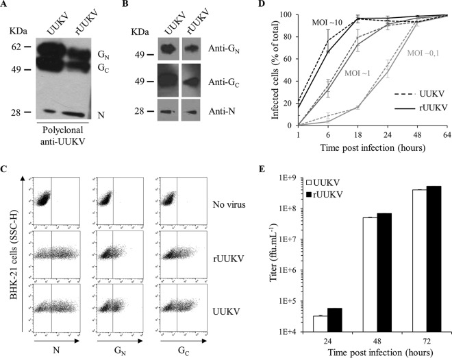 Characterization of UUKV rescued from plasmids. The UUKV lab strain and rUUKV were analyzed by SDS-PAGE and Western blotting under reducing conditions (A) using the rabbit polyclonal antibody U2 against the three structural viral proteins N, G N , and G C or under nonreducing conditions (B) with the mouse monoclonal antibodies 8B11A3, 6G9E5, and 3D8B3 that recognize each of the structural proteins N, G N , and G C , respectively. (C) BHK-21 cells were exposed to the UUKV lab strain or rUUKV at an MOI of 0.1 for 24 h. After fixation and permeabilization, infected cells were immunostained for N, G N , and G C with the mouse monoclonal antibodies 8B11A3, 6G9E5, and 3D8B3, respectively, and analyzed by flow cytometry. SSC-H, side scatter, height. (D) Infection of BHK-21 cells by UUKV and rUUKV was monitored over 64 h using the flow cytometry-based assay used for the experiment shown in panel C. Infection is given as the percentage of N protein-positive cells. (E) Supernatants collected from cells infected at an MOI of 0.1 and at indicated times were assessed for the production of infectious viral progeny by focus-forming assay.