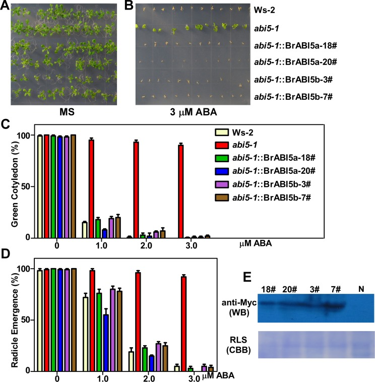 Heterogeneous expression of BrABI5a and BrABI5b reverse the insensitivity of Arabidopsis abi5-1 to ABA during seed germination. (A, B) Sensitivity of seed germination to ABA. The seeds of Ws-2, abi5-1 , and transgenic abi5-1 lines carrying Myc-tagged BrABI5a or BrABI5b ( abi5-1 :: Myc-BrABI5a or abi5-1 :: Myc-BrABI5b ) were germinated on MS medium (A) and MS medium supplemented with 3μM ABA (B) for the indicated days. The emergence rate of green cotyledons (C) and radicle (D) from Ws-2, abi5-1 and abi5-1 :: Myc-BrABI5a or abi5-1 :: Myc-BrABI5b transgenic seeds plated on MS supplemented with ABA. Approximately 150 seeds were used in each experiment. Error bars represent SD (seed number > 100). (E) Immunoblots of Myc-BrABI5a or Myc-BrABI5b protein levels in the transgenic abi5-1 lines ( abi5-1 :: Myc-BrABI5a or abi5-1 :: Myc-BrABI5b ). N, transgenic abi5-1 lines carrying the empty Myc-tagged vector; CBB (Coomassie Brilliant Blue) R250-stained RLS (Rubisco large subunit) served as a loading control.