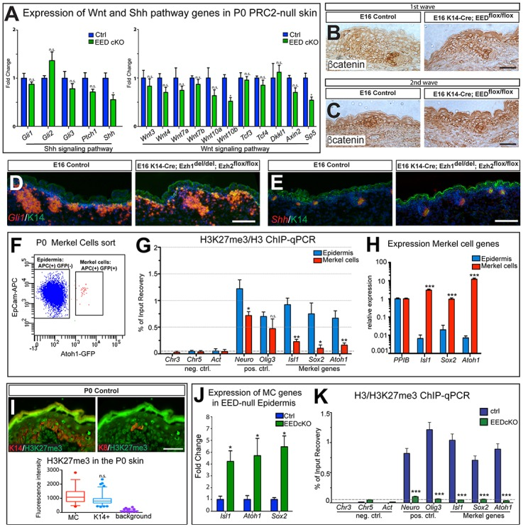 Loss of EED does not affect the hair follicle microenvironment, but leads to upregulation of Merkel cell differentiation genes. (A-E) Shh and Wnt pathways do not appear to be majorly altered in PRC-null developing skin. (A) RT-qPCR analysis of Shh pathway genes shows no significant difference in their expression in P0 EED cKO (K14-Cre; EED flox/flox ) compared to control epidermis, while Shh expression is slightly reduced in EED-null compared to control epidermis (Gli1, p = 0.2000; Gli2, p = 0.1143; Gli3, p = 0.3429; Ptch1, p = 0.1143; Shh, p = 0.0286). RT-qPCR analysis of Wnt pathway genes shows no significant difference in expression of most genes in P0 EED cKO compared to control epidermis (Wnt3, p = 0.4857; Wnt4, p = 0.1143; Wnt7a, p = 0.3429; Wnt7b, p = 0.4857; Wnt10a, p = 0.2000; Wnt10b, p = 0.0286; Tcf3, p = 0.6857; Tcf4, p = 0.4857; Dkkl1, p = 0.6857; Axin2, p = 0.2000; Sp5, p = 0.0286). (B,C) Immunohistochemistry staining for β-catenin does not show major differences in expression or nuclear staining in first wave (B) or second wave (C) hair follicles in EED cKO skin compared to control at E16. Note that, as has been previously described, the stratum corneum is prematurely acquired in the PRC2-null E16 embryo [ 51 ]. (D,E) In situ hybridization for Gli1 RNA (D) and Shh RNA (E) shows no major changes in expression in Ezh1/2 2KO (K14-Cre; Ezh1 del/del ;Ezh2 flox/flox ) skin compared to control at E16. (F) FACS scheme for Merkel cell (MC) sorting. After gating on singlets and live cells, EpCAM-APC staining was used to gate on all epidermal cells and Atoh1-GFP labels Merkel cells. EpCAM-APC(+) Atoh1-GFP(-) cells were sorted as epidermal controls. (G) ChIP-qPCR showing significantly lower levels of H3K27me3 at Merkel genes, <t>Isl1</t> , Sox2 , and Atoh1 , in FACS-sorted Merkel cells compared to FACS-sorted epidermal cells. (Neuro, p = 0.0411; Olig1, p = 0.0200; Isl1, p = 0.0022; Sox2, p = 0.0194; Atoh1, p = 0.0050). (H) RT-qPCR showing specific expression of MC