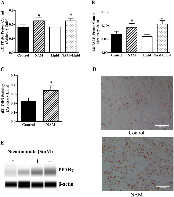 NAM increases PPARγ, FABP4, and lipid content in MSC-derived adipocytes. MSCs were incubated with standard differentiation media for 21 days +/-NAM (3mM) as described in Methods. Protein content at day 21 was measured by ICE assay in all treatment conditions (A and B) (N = 46). *p