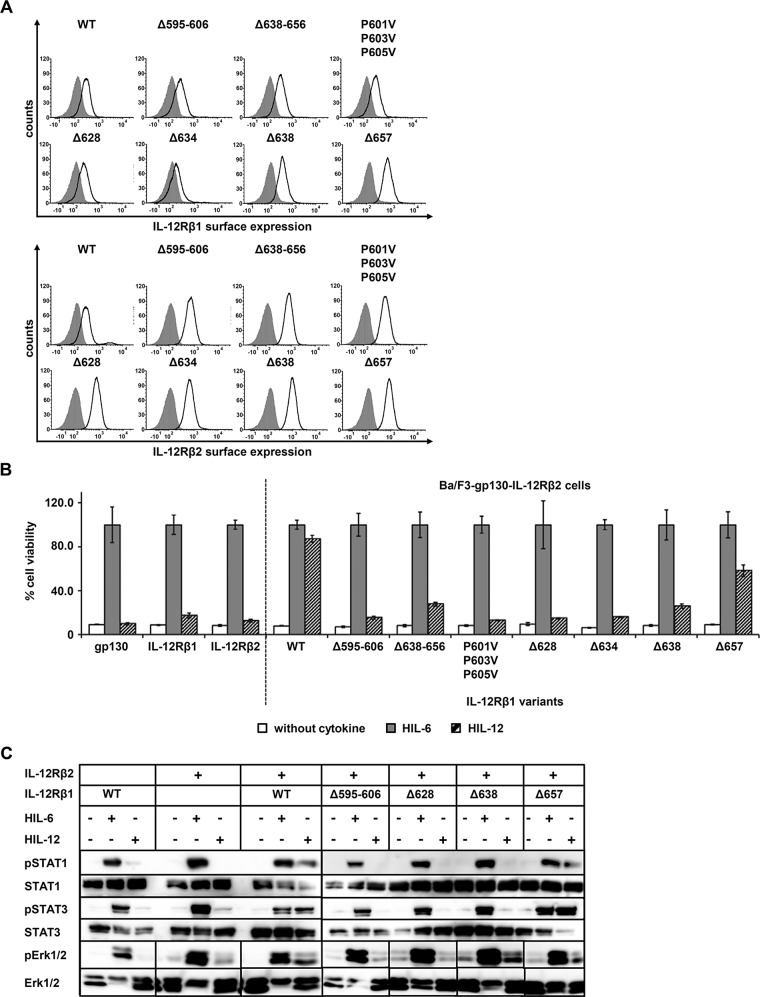 IL-12Rβ1 plays a central role in IL-12 signal transduction. (A) Selected IL‑12Rβ1 variants were retrovirally transduced in Ba/F3-gp130-IL‑12Rβ2 cells. Representative histograms of IL‑12Rβ1 (top) and IL‑12Rβ2 (bottom) surface expression of resulting transduced Ba/F3-gp130 cell lines. Gray-shaded areas indicate Ba/F3-gp130 cells (negative control), and dark solid lines are the respective Ba/F3 cell lines as indicated. (B) Proliferation of stably transduced Ba/F3-gp130-IL-12Rβ2 cells with cDNAs coding for murine IL‑12Rβ1 (WT) or appropriate variants. Equal numbers of cells were cultured for 3 d in the presence of 0.2% HIL‑6–conditioned cell culture supernatant or 0.4% HIL‑12 or without cytokine. Parental Ba/F3-gp130, Ba/F3-gp130-mIL-12Rβ1, and Ba/F3-gp130-mIL‑12Rβ2 cells were used as control. Proliferation was measured using the colorimetric CellTiter-Blue Cell Viability Assay. HIL‑6–dependent proliferation was set to 100%. Error bars represent SD for technical replicates. (C) Stably transduced Ba/F3 cells were washed three times, starved, and stimulated with 0.2% HIL‑6 or 0.4% HIL‑12 for 15 or 30 min. Cellular lysates were prepared, and 50 μg of total protein per lane was loaded on SDS gels, followed by immunoblotting using specific antibodies for phospho-STAT3, STAT3, phospho-STAT1, STAT1, phospho-Erk1/2, and Erk1/2. Ba/F3-gp130-mIL‑12Rβ1 and Ba/F3-gp130-mIL-12Rβ2 cells were used as control. Western blot data show one representative experiment.