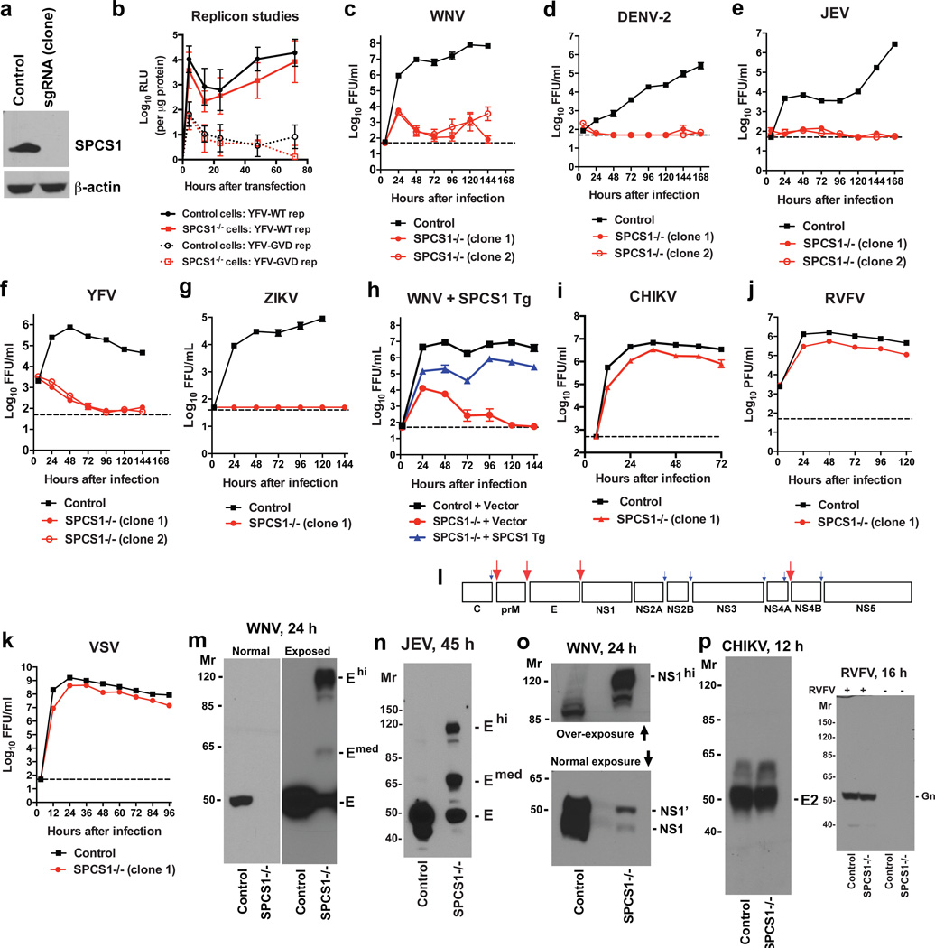 SPCS1 is required for flavivirus protein processing and infection a . Western blotting of SPCS1 −/− 293T cells. b . Cells were transfected with YFV-luciferase replicon RNA (WT GDD or loss-of-function GVD). Firefly luciferase activity was measured and normalized to intracellular protein levels. The data reflects the average of two to three independent experiments performed in duplicate. c–h . Cells were infected with WNV ( c, h ), DENV-2 ( d ), JEV ( e ), YFV ( f ) or ZIKV ( g ), and viral yield measured. In h , cells were trans-complemented with an SPCS1 or control plasmid. Results are the average of two to three independent experiments performed in triplicate. i–k . Cells were infected with CHIKV (alphavirus), RVFV (bunyavirus), or VSV (rhabdovirus) and viral yield was measured. Results are the average of two to three independent experiments performed in triplicate. l . The polyprotein processing strategy of flaviviruses 13 . Red and blue arrows indicate sites of cleavage by host and viral (NS2B-NS3) proteases, respectively. m–o . Control or SPCS1 −/− 293T ( m , o ) or Huh7.5 ( n ) cells were infected with WNV ( m, o ) or JEV ( n ). Lysates were blotted with ( m ) anti-WNV E, ( n ) anti-JEV E, or ( o ) anti-WNV NS1 MAbs. Higher molecular weight bands (E hi , E med , and NS1 hi ) that react with anti-flavivirus MAbs are indicated. One experiment of three is shown. p . 293T cells were infected with CHIKV or RVFV. Lysates were blotted with anti-CHIKV E2 or anti-RVFV Gn mAbs. One experiment of two is shown. For gel source data, see Supplementary Figure 1 .