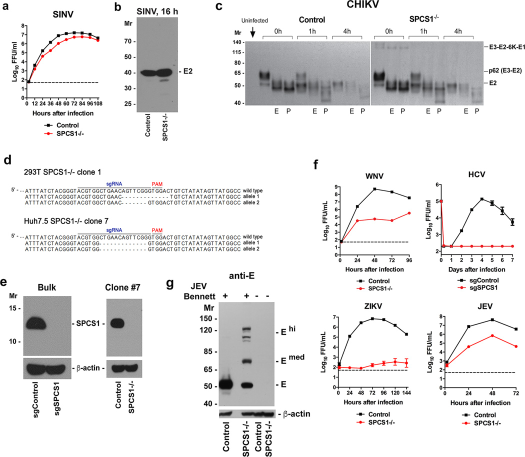 """Viral infection in SPCS1 −/− cells a–c . Alphaviruses replicate and are processed efficiently in 293T cells in the absence of expression of SPCS1. a . SINV infection in control and SPCS1 −/− clonal cells. Cells were infected (MOI of 0.01) and supernatants were harvested and analyzed by FFA. The results are the average of two independent experiments performed in triplicate. b . Control and SPCS1 −/− gene-edited 293T cells were infected with SINV. At the indicated time, lysates were prepared, electrophoresed and Western blotted with anti-SINV E2 ascites fluid (ATCC VR-1248AF). c . Control or SPCS1 −/− 293T cells were infected with <t>CHIKV</t> (MOI of 5). 8 h later, cells were labeled for 30 min with 35 S cysteine-methionine. Excess cold cysteine-methionine was added for indicated chase times (0, 1 or 4 h). An uninfected control established the specificity of the immunoprecipitation. After 35 S labeling, lysates were prepared and immunoprecipitated with anti-E2 MAb (CHK-48). Immunoprecipitates were left untreated (blank) or treated with Endo H (E) or PNGase F (P) for 1 h at 37°C prior to SDS-PAGE and fluorography. d . Sequencing of SPCS1 alleles in gene-edited 293T and Huh7 cell clones after puromycin selection and limiting dilution cloning. The sgRNA targeting site and the """"PAM"""" sequences are highlighted at the top of WT gene, and the sequence of edited alleles are indicated. e . Western blotting of bulk-selected or clonal (clone #7) Huh7.5 cells (control and SPCS1 sgRNA selected) for expression of SPCS1 (~12 kDa). f . WNV, HCV, ZIKV, or <t>JEV</t> (Bennett strain) infection in control and SPCS1-deficient Huh7.5 cells. Cells were infected at an MOI of 0.01 (WNV, ZIKV, JEV) or 1 (HCV) and supernatants were harvested and analyzed by FFA. The results are the average of two independent experiments performed in triplicate. g . Control or SPCS1 −/− Huh7.5 cells were infected at an MOI of 150 for 45 h with a pathogenic JEV isolate (Bennett strain). Lysates were blotted with"""