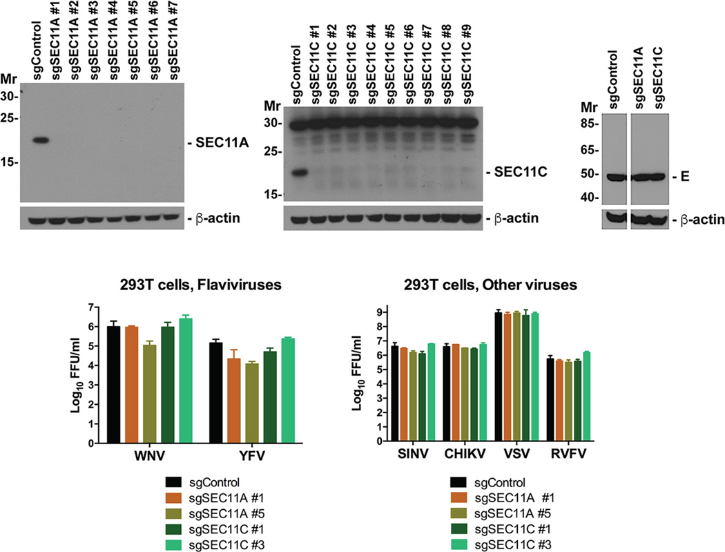 Gene editing of SEC11A and SEC11C do not susbtantively impact infection of several enveloped viruses ( Top ) 293T cells were administered the indicated sgRNA and isolated in bulk after puromycin drug selection. Western blotting confirmed gene editing of SEC11A ( left , 20 kDa) or SEC11C ( middle , 22 kDa). No difference in levels or migration pattern of WNV E was observed in SEC11A or SEC11C gene edited cells ( right ) after WNV infection at an MOI of 200 for 24 h. Spaces between the Western blots indicate cropping to remove lanes that were not relevant to this experiment. ( Bottom ) Control or gene-edited 293T cells were infected with viruses and supernatants were harvested after infection for titration. Left . WNV (MOI of 0.01, 72 h) or YFV (MOI of 1, 72 h); Right , SINV (MOI of 0.01, 72 h), CHIKV (MOI of 0.01, 36 h), VSV (MOI of 0.01, 36 h), or RVFV (MOI of 1, 72 h). Results are representative of two independent experiments. For gel source data, see Supplementary Figure 1 .