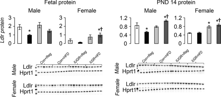 Hepatic protein levels of Ldlr relative to control protein <t>Hprt1.</t> * P ≤ 0.05 compared to sex‐matched Con+Reg, † P ≤ 0.05 compared to sex‐matched Con+ HFD . Data from Con+Reg rats are shown in white bars, Con+ HFD rats are shown in black bars, IUGR +Reg rats shown in light gray bars, and IUGR + HFD rats are shown in dark gray bars. Western blot image is depicted below the graph, with a representative Hprt1 control blot at the bottom. N = 6 per sex, diet, and surgical intervention. Data are shown as mean ± SEM . HFD, high‐saturated‐fat diet; IUGR, intrauterine growth restriction.