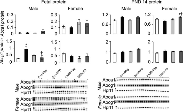 Protein levels of proteins involved in HDL uptake from the blood to the liver relative to control protein Hprt1. * P ≤ 0.05 compared to sex‐matched Con+Reg, † P ≤ 0.05 compared to sex‐matched Con+ HFD . Data from Con+Reg rats are shown in white bars, Con+ HFD rats are shown in black bars, IUGR +Reg rats shown in light gray bars, and IUGR + HFD rats are shown in dark gray bars. Western blot image is depicted below the graph, with a representative Hprt1 control blot at the bottom. N = 6 per sex, diet, and surgical intervention. Data are shown as mean ± SEM . HDL, high‐density lipoprotein; HFD, high‐saturated‐fat diet; IUGR, intrauterine growth restriction.