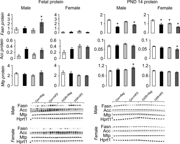 Protein levels of proteins involved in hepatic VLDL export to the blood relative to control protein Hprt1. * P ≤ 0.05 compared to sex‐matched Con+Reg, † P ≤ 0.05 compared to sex‐matched Con+ HFD . Data from Con+Reg rats are shown in white bars, Con+ HFD rats are shown in black bars, IUGR +Reg rats shown in light gray bars, and IUGR + HFD rats are shown in dark gray bars. Western blot image is depicted below the graph, with a representative Hprt1 control blot at the bottom. N = 6 per sex, diet, and surgical intervention. Data are shown as mean ± SEM . HFD, high‐saturated‐fat diet; IUGR, intrauterine growth restriction; LDL, low‐density lipoprotein; VLDL, very low‐density lipoprotein.