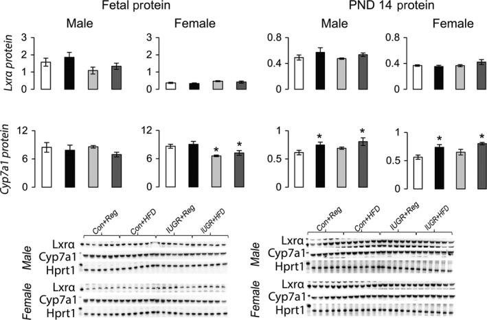 Protein levels of proteins involved in hepatic cholesterol catabolism to bile acids relative to control protein Hprt1. * P ≤ 0.05 compared to sex‐matched Con+Reg, † P ≤ 0.05 compared to sex‐matched Con+ HFD . Data from Con+Reg rats are shown in white bars, Con+ HFD rats are shown in black bars, IUGR +Reg rats shown in light gray bars, and IUGR + HFD rats are shown in dark gray bars. Western blot imag e is depicted below the graph, with a representative Hprt1 control blot at the bottom. N = 6 per sex, diet, and surgical intervention. Data are shown as mean ± SEM . HFD, high‐saturated‐fat diet; IUGR, intrauterine growth restriction.