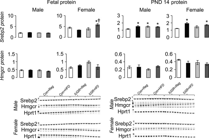 Protein levels of proteins involved in hepatic de novo cholesterol synthesis relative to control protein Hprt1. * P ≤ 0.05 compared to sex‐matched Con+Reg, † P ≤ 0.05 compared to sex‐matched Con+ HFD . Data from Con+Reg rats are shown in white bars, Con+ HFD rats are shown in black bars, IUGR +Reg rats shown in light gray bars, and IUGR + HFD rats are shown in dark gray bars. Western blot image is depicted below the graph, with a representative Hprt1 control blot at the bottom. N = 6 per sex, diet, and surgical intervention. Data are shown as mean ± SEM . HFD, high‐saturated‐fat diet; IUGR, Intrauterine growth restriction.