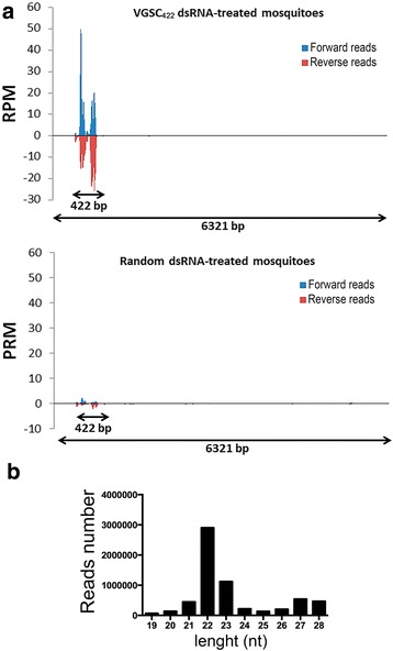 VGSC small RNAs persist until the adult stage of  Ae. aegypti  treated by dsRNA-VGSC during larval stage.  a  Small RNA libraries were constructed from 5 day-old adult mosquitoes previously soaked in VGSC 422  dsRNA or Random dsRNA (0.5μg/μl) and sequenced using Hiseq 2500. Data are presented as the number of reads normalized to one million mapped reads per sample (RPM). Forward strand (sense) reads are positive RPM values (depicted in  blue ); reverse strand (anti-sense) reads are in negative RPM values (depicted in  red ). Positions for which RPM values are > = 10 RPM were considered expressed.  b  Size distribution of small RNAs matching the VGSC422 transcript (Accession no. KC107440.1). nt: nucleotides