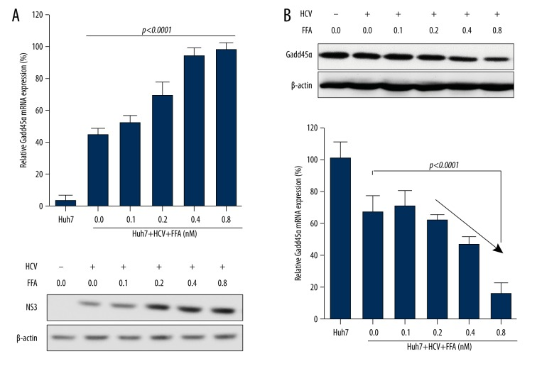 FFA promotes HCV replication in Huh7 cells. Huh7 cells (2×10 5 ) were cultured in a 24-well plate to 80%–85% confluence and then co-cultured with different concentrations of FFA with or without HCV (MOI of 1.5) for 72 hours. ( A ) HCV RNA copies were quantified by RT-PCR, and NS3 protein level was detected by Western blotting. ( B ) Quantification of the GADD45α protein levels and mRNA levels in Huh7 cells. Results are shown as mean ± SD of three independent experiments.
