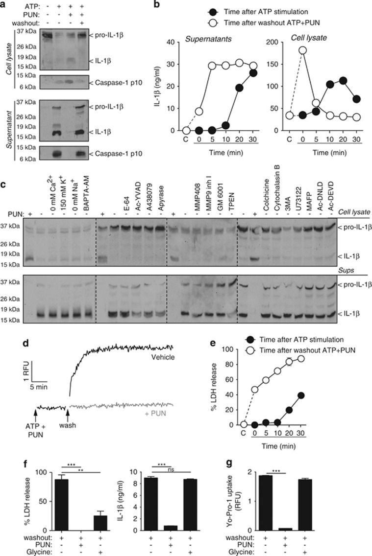 IL-1 β release pharmacology. ( a ) Immunoblot analysis of cell lysate and supernatant of mouse BMDMs primed with LPS (1 μ g/ml, 4 h), followed by no stimulation (−) or stimulation (+) with ATP (5 mM, 20 min) in the absence (−) or presence (+) of punicalagin (PUN; 25 μ M) and then washout (+) or not (−) for 20 min. ( b ) ELISA of IL-1 β of cell lysate and supernatant from BMDMs primed as in ( a ). Measures are taken every 5 min during 30 min of ATP stimulation (5 mM) after priming (black circles) or washout after 30 min stimulation with ATP (5 mM) with punicalagin (PUN; 25 μ M) (white circles). ( c ) Immunoblot analysis of cell lysate and supernatant of BMDMs treated as in ( a ) and during washout after ATP+PUN cells were incubated with punicalagin (PUN; 25 μ M), in a buffer without Ca 2+ , high K + (150 mM), with NMDG + (0 mM Na + ), or normal ion buffer with BAPTA-AM (100 μ M), E-64 cathepsin inhibitor (50 μ M), Ac-YVAD caspase 1 inhibitor (100 μ M), A438079 P2X7 antagonist (25 μ M), apyrase (3 U/ml), MMP408 (1 μ M), MMP9 (0.5 μ M) and GM6001 (0.5 μ M) metalloprotease inhibitors, TPEN Zn 2+ chelator (50 μ M), colchicine (50 μ M) and cytochalasin B (2.5 μ g/ml), 3-MA autophagy inhibitor (6 mM), U73122 phospholipase C inhibitor (10 μ M), MAFP phospholipase A inhibitor (10 μ M), Ac-DNLD, or Ac-DEVD caspase-3 inhibitors (100 μ M). ( d and e ) Kinetic of Yo-Pro uptake ( d ) and percentage of extracellular LDH ( e ) from macrophages treated as in ( b ). ( f ) Percentage of extracellular LDH release and ELISA of IL-1 β in supernatant from BMDMs treated as in ( a ) and during washout after ATP+PUN cells were incubated with punicalagin (PUN; 25 μ M) or glycine (5 mM). ( g ) Yo-Pro uptake in BMDMs treated as in ( f ). ** P