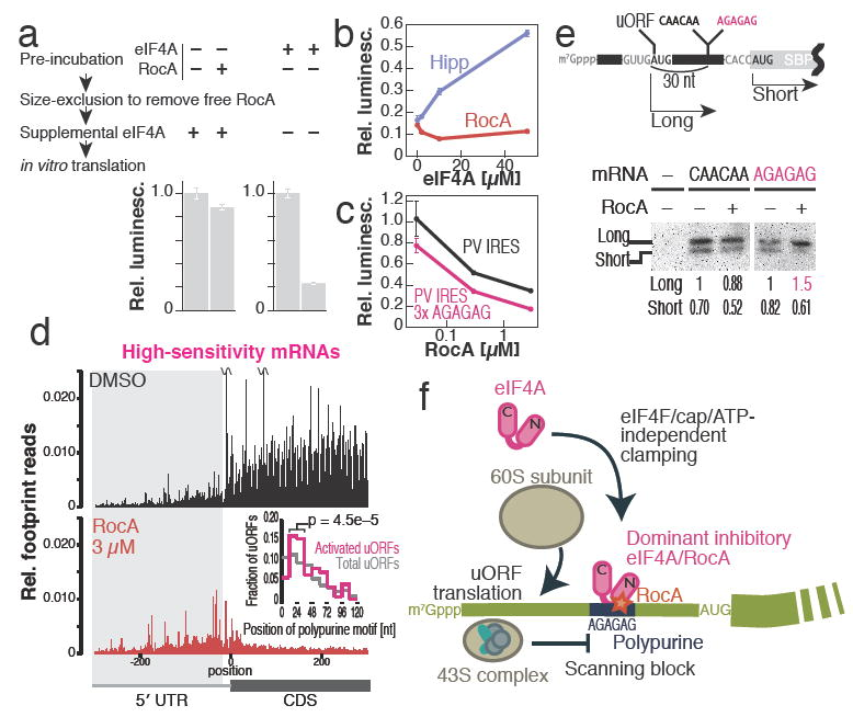 eIF4A/RocA complexes on polypurine motifs block scanning of pre-initiation complex, inducing uORF translation (a) Pre-formation of the complex with RocA and eIF4A on the mRNA bearing seven polypurine motifs represses the translation from the mRNA in RRL. (b) The supplementation of recombinant eIF4A protein to RRL in vitro transaltion reaction with 10 μM Hipp or 3 μM RocA. (c) In vitro translation in RRL with mRNAs with native PV IRES and that with three polypurine motifs ( Extended Data Figure 9a ). (d) Meta-gene analysis of high-sensitivity transcripts to RocA. Reads are normalized to the sum of mitochondrial footprints reads. Histogram of the position of the first polypurine motif (6-mer) after uORF initiation codon (inset). P value is calculated by Fisher's exact test. Bin width is 12 nt. (e) Western blot of SBP translated from uORF and downstream major ORF in RRL with 0.03 μM RocA treatment. Quantification of bands normalized to long form with DMSO treatment is shown. For gel source data, see Supplementary Fig. 1 . (f) Schematic representation of RocA-mediated translation control. RocA clamps eIF4A onto mRNA by selective affinity enhancement for a polypurine motif in eIF4F-, cap-, and ATP-independent manners, which then blocks scanning of pre-initiation complex, introducing premature translation from uORF and inhibiting downstream ORF translation. In b and c, data represent mean and S.D. (n = 3).