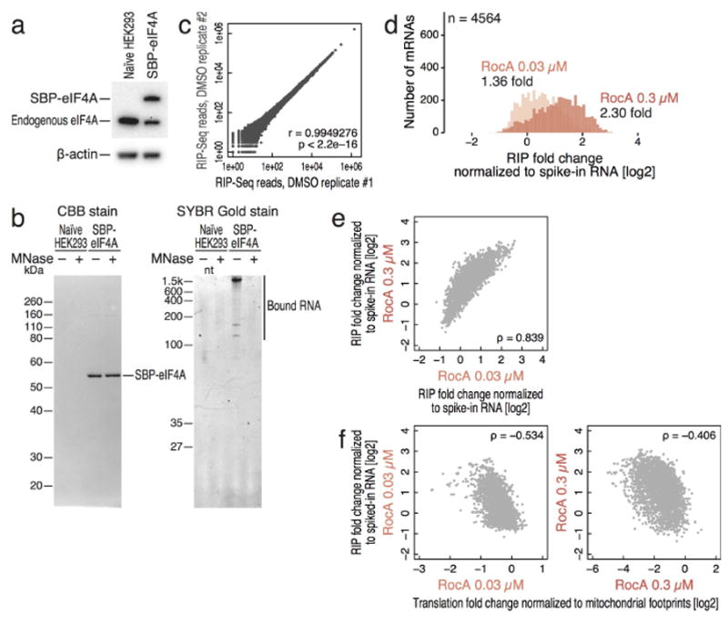 Purification of SBP-tagged eIF4A and co-purified RNA from HEK 293 cells (a) Western blot of exogenous SBP-eIF4A and endogenous eIF4A in tetracycline-inducible stable cell line. Expression of physiological levels of the tagged allele attenuated endogenous eIF4A expression but preserved overall eIF4A levels, likely reflecting the same feedback loop previously reported between eIF4AI and eIF4AII 31 . (b) CBB staining of purified SBP-eIF4A and SYBR Gold staining of purified RNA bound to SBP-eIF4A with or without Micrococcal Nuclease (MNase). (c) Correlation of sum of the mRNA fragment reads of each transcript between biological replicates of RIP-seq. r is Pearson's correlation coefficient. P value is calculated by Student′s t-test. (d) Histogram of the number of transcripts along RNA/eIF4A interaction -fold change by RIP-Seq when cells are treated with 0.03 or 0.3 µM RocA normalized to spiked-in RNA. Data present the same mRNAs analyzed in Figure 1a . Median -fold change is shown. Bin width is 0.1. (e) Correlation of RIP -fold change between different concentration of RocA treatments. ρ: Spearman's rank correlation coefficient. (f) Correlation of translation -fold change to RIP -fold change with the same concentration of RocA treatment. ρ: Spearman's rank correlation.