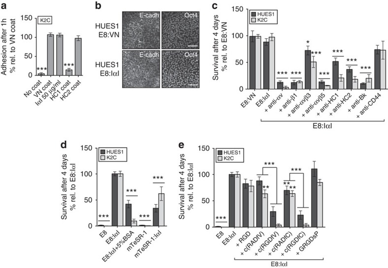 IαI and IαI domain HC2 can support attachment and survival of hPS cells. ( a ) Quantification of cell attachment by crystal violet staining 4 h after seeding of hiPS cell line K2C added to plates with 10 μg ml −1 VN-XF coating, 50 μg ml −1 IαI medium supplementation, 50 μg ml −1 HC1 coating or 50 μg ml −1 HC2 coating. ( b ) Immunofluorescence of hES cell line HUES1 on VN-XF coating or IαI supplement showing E-cadherin (left panel) and Oct4 (right panel), scale bar shows 100 μm. ( c ) Cell survival and growth assayed with crystal violet staining after 4 days of culture of HUES1 and K2C in E8 medium with IαI and different blocking antibodies, ( d ) E8 medium with or without 50 μg ml −1 IαI (E8:IαI), 5% BSA (w/v) in E8: IαI, and mTeSR1 medium with or without IαI; ( e ) E8 medium supplemented with IαI and IαI together with different integrin-blocking peptides. All cell-number quantification experiments were performed in triplicate over three separate experiments. Bars show mean±s.e.m. and statistical analysis over the three independent experiments. Statistical analysis indicates significant differences with * P