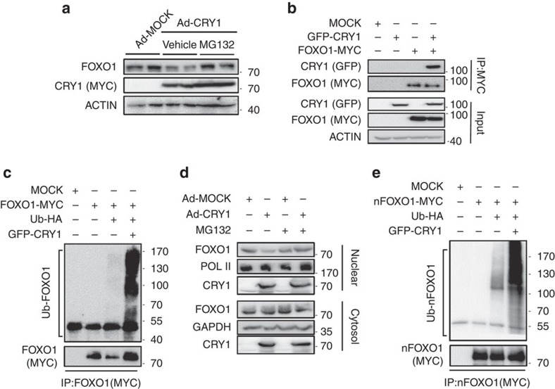 CRY1 accelerates ubiquitin-mediated FOXO1 degradation. ( a ) Mouse primary hepatocytes were adenovirally infected with Ad-MOCK or Ad-CRY1. The cells were treated with 20 μM MG132 or vehicle for 4 h. Total cell lysates were analysed by western blotting with indicated antibodies. ( b ) HEK293T cells were transfected with GFP-CRY1 and/or FOXO1-MYC expression vectors. Co-immunoprecipitation with an anti-MYC antibody and western blotting were performed with the indicated antibodies. IP, immunoprecipitation. ( c ) COS-1 cells were co-transfected with plasmids encoding FOXO1-MYC, GFP-CRY1, and Ubiquitin-HA. After transfection, the cells were treated with MG132 (20 μM) for 6 h and then the cell lysates were subjected to immunoprecipitation with an anti-MYC antibody followed by western blotting with indicated antibodies. IP, immunoprecipitation. ( d ) Mouse primary hepatocytes were infected with Ad-MOCK or Ad-CRY1. After infection, the cells were treated with MG132 (20 μM) for 4 h. Nuclear and cytosolic fractions were isolated and analysed by western blotting with indicated antibodies. ( e ) COS-1 cells were co-transfected with plasmids encoding nFOXO1-MYC, GFP-CRY1, and Ubiquitin-HA. After transfection, the cells were challenged with MG132 (20 μM) for 6 h. The cell lysates were subjected to immunoprecipitation with an anti-MYC antibody. IP, immunoprecipitation. See Supplementary Fig. 13 for original full immunoblot.
