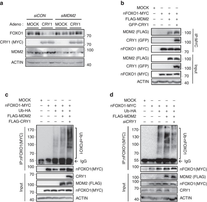 CRY1 is involved in MDM2-mediated FOXO1 ubiquitination. ( a ) Mouse primary hepatocytes were infected with Ad-MOCK or Ad-CRY1 and/or siCON or siMDM2 . Total cell lysates were analysed by western blotting with indicated antibodies. ( b ) HEK293T cells were transfected with FLAG-MDM2, nFOXO1-MYC, and GFP-CRY1 expression vectors. Total cell lysates were subjected to co-immunoprecipitation with an anti-MYC antibody followed by western blotting with indicated antibodies. IP, immunoprecipitation. ( c ) COS-1 cells were co-transfected with plasmids encoding nFOXO1-MYC, FLAG-MDM2, FLAG-CRY1, and Ubiquitin-HA. After transfection, the cells were challenged with MG132 (20 μM) for 6 h. Cell lysates were subjected to immunoprecipitation with an anti-MYC antibody. IP, immunoprecipitation ( d ) COS-1 cells were co-transfected with plasmids encoding nFOXO1-MYC, FLAG-MDM2, Ubiquitin-HA, and siCRY1 . Cells were treated with MG132 (20 μM) for 6 h. Cell lysates were subjected to immunoprecipitation with an anti-MYC antibody. IP, immunoprecipitation. See Supplementary Fig. 13 for original full immunoblot.