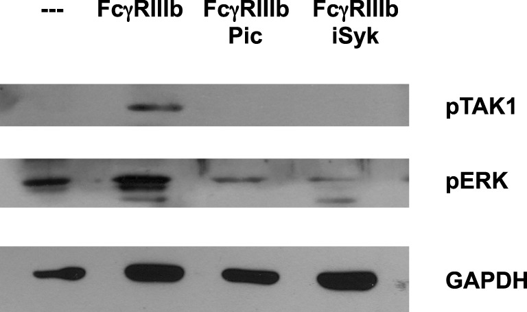 Syk is required for FcγRIIIb-mediated TAK1 activation . Human neutrophils were left untreated (---), or were stimulated by cross-linking FcγRIIIb for 15 min in the absence or presence of 50 μM Piceatannol (Pic) or 40 nM iSyk, both selective inhibitors of Syk. Cell lysates were prepared after stimulation. Proteins were resolved by SDS-PAGE and then Western blotted for phosphorylated-TAK1 (pTAK1) (upper panel), or for phosphorylated ERK (pERK) (middle panel), and for total glyceraldehyde 3-phosphate dehydrogenase <t>(GAPDH)</t> (lower panel). Data are representative of three separate experiments.