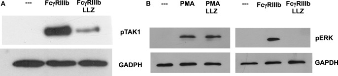 TAK1 is required for FcγRIIIb-mediated ERK activation . Human neutrophils were left untreated (---), or were stimulated by cross-linking FcγRIIIb for 15 min, or by 20 nM phorbol 12-myristate 13-acetate (PMA). Some neutrophils were previously treated with 10 nM LL Z1640-2 (LLZ), a selective inhibitor of TAK1. Cell lysates were prepared after stimulation. Proteins were resolved by SDS-PAGE, and then, Western blotted for (A) phosphorylated-TAK1 (pTAK1) (upper panel) and for total glyceraldehyde 3-phosphate dehydrogenase (GAPDH) (lower panel); or for (B) phosphorylated ERK (pERK) and total GAPDH (lower panel). Data are representative of three separate experiments.
