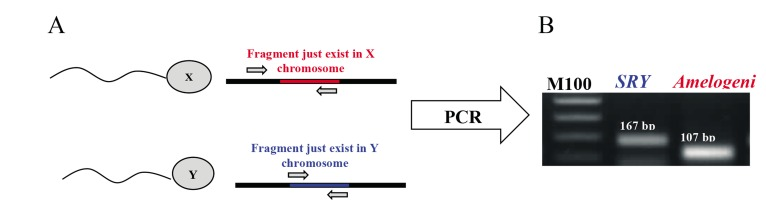 PCR amplicons of the Amelogenin and Sex determining region Y (SRY) gene from sperm genomic DNA. A. Schematic illustration of annealing of primers for specific amplification of X and Y chromosome in PCR reaction and B. A 167-bp and 107-bp fragment was amplified in PCR reaction from SRY and Amelogenin gene as indicators for sex determination. PCR; Polymerase chain reaction.