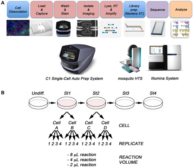 Experimental scheme. ( A ) After differentiation, the cell cultures were dissociated to single-cell suspensions and loaded onto a Fluidigm C1 Single-Cell Auto Prep Array for mRNA-Seq. On the arrays, the cells were lysed, and reverse transcription of the mRNA and PCR amplification of the cDNA were performed using the C1 Single-Cell Auto Prep System (Fluidigm). Libraries were then prepared using the <t>Nextera</t> XT DNA Library Prep Kit and mosquito HTS liquid handler (TTP). For the final PCR reactions, we used a Bio-Rad 384 Thermal Cycler. Libraries were pooled and sequenced on an Illumina HiSeq 2500. ( B ) WA09 human embryonic stem cells were differentiated in vitro to the pancreatic lineage. Cells from stages 1 and 2 were collected and analyzed using the procedures outlined in A . Two independent cells from stage 1 (cell A and cell B) and two cells from stage 2 (cell C and cell D) were selected and yielded with similar cDNA concentrations (mean [SD] concentration = 0.38 [0.04] ng/µL). For library preparation, we tested 2-µL, 4-µL, and 8-µL final volume reactions, with four replicates per reaction volume.