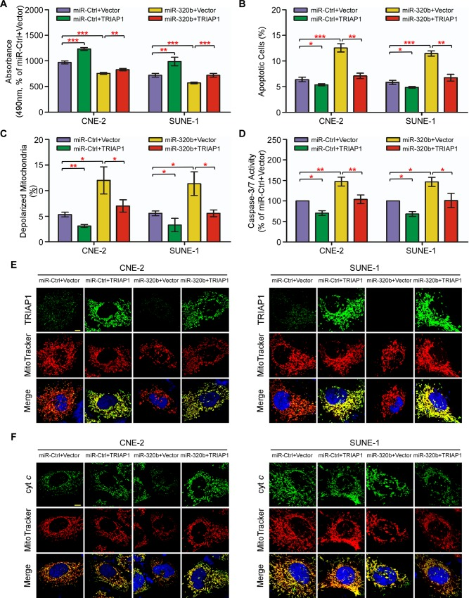 TRIAP1 mediates the effects of miR-320b on NPC cell proliferation, mitochondrial fragmentation and apoptosis. ( A-F ) CNE-2 and SUNE-1 cells were co-transfected with a miR-320b mimic or miR-Ctrl and either the empty vector (Vector) or plasmid overexpressing TRIAP1. ( A ) MTT assay showing that recovery of TRIAP1 partially rescues the inhibitory effects of miR-320b on cell proliferation. ( B-F ) Flow cytometric analysis ( B-C ), caspase-3/7 ( D ) and immunofluorescent staining ( E-F ) assay showing that restoration of TRIAP1 reverses the promoting effects of miR-320b on mitochondrial fragmentation, apoptosis and cytochrome c release from mitochondria. Scale bar, 10 μm. Each experiment was independently repeated at least three times. The data are presented as the mean ± s.d. Student's t -test, * P