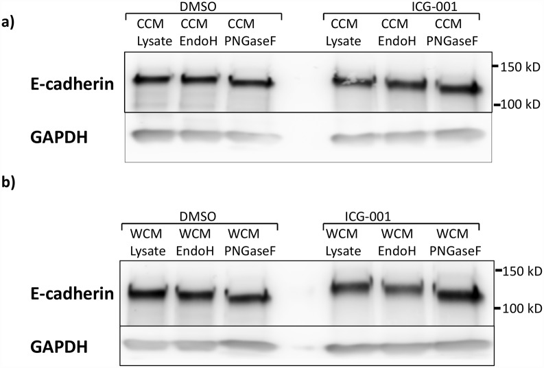 E-cadherin mobility shift from treatment of total cell lysates with glycosidases: Endoglycosidase H (EndoH) or Peptide-N-Glycosidase F (PNGaseF). a) Immunoblots of E-cadherin from cells grown without exogenous Wnt3a (CCM). b) Immunoblots for lysate from cells grown in exogenous Wnt3a (WCM). Cells were grown in the presence of either no inhibitor (DMSO) or ICG-001.
