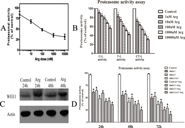 Cellular proteasomal activity was inhibited by arenobufagin, which might be related to the binding of Na, K-ATPase. (A ) Inhibition of arenobufagin (Arg) at different doses on cytosolic proteasomal activity for 24h. ( B ) Three types of cellular proteasome enzyme activities (C-L, T-L and CT-L) in HeLa cells treated with 0.1% DMSO or arenobufagin(Arg) at different concentrations for 24h. ( C ) Western blotting results of WEE1 and actin in control HeLa cells and cells treated with 10 nM arenobufagin for 24 h and 48 h. Each blot was the representative result of three independent experiments. ( D ) Inhibition of antibodies against α1 or α3 subunits of Na,K-ATPase or combination of antibodies against α1 or α3 subunits of Na,K-ATPase and 10 nM arenobufagin on cytosolic proteasomal activity for 24h,48h and 72h, respectively. Data were statistical results of three independent experiments. Data were statistical results of three independent experiments. Data were expressed as mean ± SD. *Significant difference from the control group at P