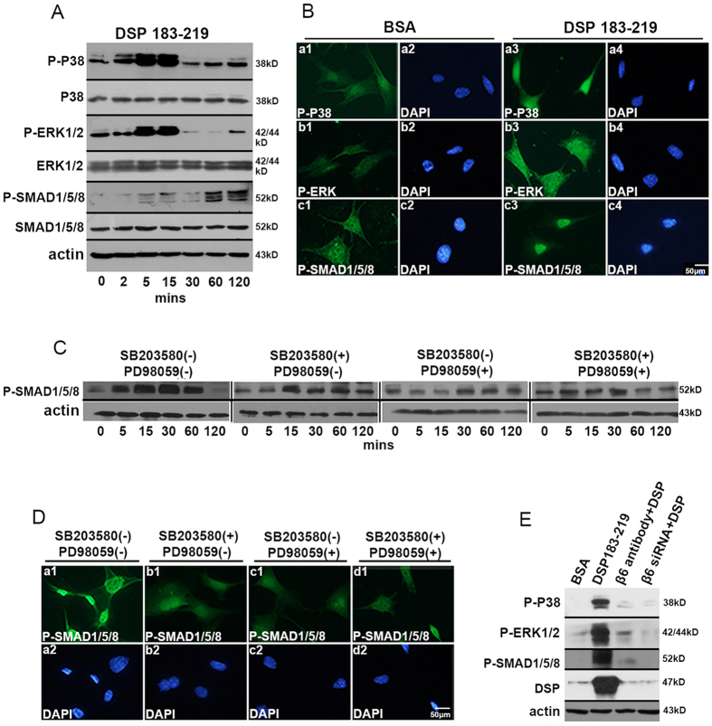 DSP-β6 interaction activates P38, ERK1/2, and SMAD1/5/8 phosphorylation and the nuclear translocation of SMAD1/5/8. ( A ) Western blot analysis of phospho-P38, phospho-ERK1/2, and phospho-SMAD1/5/8 of mDPC6T cells subject to DSP aa183-219 stimulation for 0, 2, 5, 15, 30, 60, and 120 min. ( B ) Immunofluorescence assay of phospho-P38, phospho-ERK1/2, and phospho-PMAD1/5/8 of mDPC6T with or without DSP aa183-219 stimulation. ( C ) Western blot analysis of phospho-SMAD1/5/8 in mDPC6T cells treated with or without 20 μM SB203580 and/or 100 μM PD98059 for 1 h followed by 200 ng/ml DSP aa183-219 for 0, 5, 15, 30, 60, and 120 min. ( D ) Immunofluorescence analysis of phospho-SMAD1/5/8 in mDPC6T cells treated with or without 20 μM P38 SB203580 and/or 100 μM PD98059 followed by 200 ng/ml DSP aa183-219 . ( E ) mDPC6T cells were treated with or without DSP aa183-219 for 15 min; treated with 25 μg/ml anti-integrin β6 antibody for 1 h followed by 200 ng/ml DSP aa183-219 for 15 min; or treated with 80 nM integrin siRNA for 24 h followed by 200 ng/ml DSP aa183-219 for 15 min. Phospho-P38, phospho-ERK1/2, phospho-SMAD1/5/8 and DSP were analyzed with anti-phospho-P38, anti-phospho-ERK1/2, anti-phospho-SMAD1/5/8 and anti-DSP antibodies.