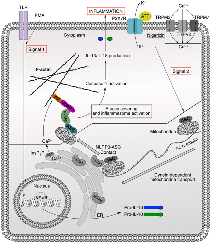 Schematic representation of NLRP3 inflammasome regulation. TLRs activation or PMA (Signal 1) induce the expression of pro-IL-1β, pro-IL-18 and NLRP3. Signal 2 provided by ATP or nigericin induces NLRP3 inflammasome assembly through a dynein- and microtubules-dependent transport. Then, we postulate that the increase of intracellular Ca 2+ concentration through channels such as TRPM7, TRPV2 and/or InsP 3 R, enhances the ability of FliI to sever F-actin and thus abrogates LRRFIP2-FliI-dependent NLRP3 inflammasome inhibition increasing IL-1β and IL-18 production. The colored part of the picture is the present study.
