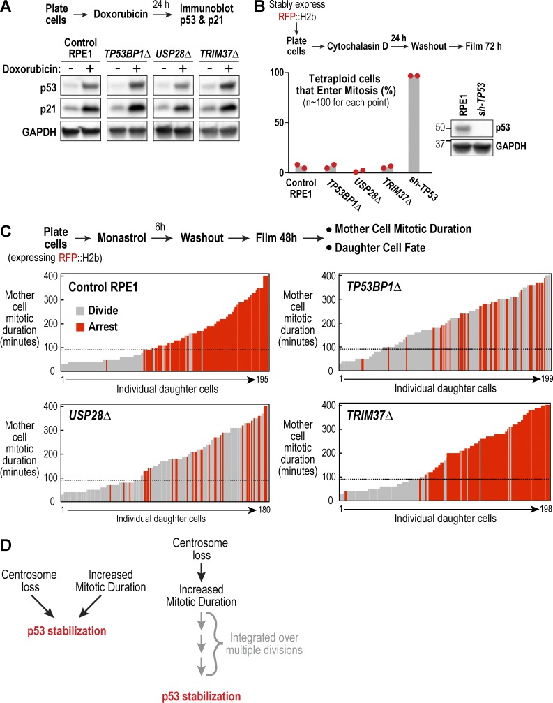 53BP1 and USP28, but not TRIM37, are essential for activating p53 in response to prolonged mitotic duration. (A) Analysis of p53 and p21 levels after induction of DNA damage with doxorubicin; schematic describes experimental protocol and GAPDH serves as a loading control. (B) Analysis of cytokinesis failure–induced division arrest; schematic describes experimental protocol. Red dots show results from two independent experiments. Immunoblot confirms efficient p53 depletion. (C) Analysis of extended mitotic duration–induced division arrest; schematic describes experimental protocol. Vertical bars represent individual daughter cells. Bar height shows the time the mother cells spent in mitosis, and bar color indicates whether they arrested (red) or divided (gray). Black dashed line marks the mitotic duration cutoff in control RPE1 cells, after which resulting daughter cells arrest in G1. (D) Schematic shows two possible models for how centrosome loss might trigger p53 activation, either directly (left) or indirectly through successive prolonged mitoses (right).