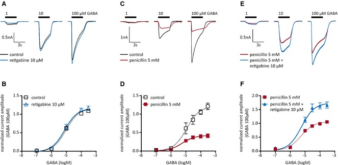 Effects of retigabine on GABA ‐evoked currents in cultured hippocampal neurons. Currents were evoked by the application of the indicated concentrations of GABA in either solvent (control) or 5 m m penicillin, 10 μ m retigabine, or both. ( A ) Original traces of currents evoked by the indicated concentrations of GABA in one hippocampal neuron in the presence of solvent (control; black) or 10 μ m retigabine (blue). ( B ) Concentration–response curves for GABA ‐evoked currents in the presence of solvent (control; black) or 10 μ m retigabine (blue; n = 7). All peak current amplitudes determined in one neuron were normalized to the amplitude of the current triggered by 100 μ m GABA in the presence of solvent. ( C ) Original traces of currents evoked by the indicated concentrations of GABA in one hippocampal neuron in the presence of solvent (control: black) or 5 m m penicillin (red). ( D ) Concentration response curves for GABA ‐evoked currents in the presence of solvent (control; black) or 5 m m penicillin (red; n = 5). All peak current amplitudes determined in one neuron were normalized to the amplitude of the current triggered by 100 μ m GABA in the presence of solvent. ( E ) Original traces of currents were evoked by the indicated concentrations of GABA in one hippocampal neuron in the presence of either 5 m m penicillin (red) or 5 m m penicillin plus 10 μ m retigabine (blue). ( F ) Concentration–response curves for GABA ‐evoked currents in the presence of either 5 m m penicillin (red) or 5 m m penicillin plus 10 μ m retigabine (blue; n = 7). All peak current amplitudes determined in one neuron were normalized to the amplitude of the current triggered by 100 μ m GABA in the presence of penicillin only. Maximal GABA current amplitudes were significantly larger in the presence of retigabine (p