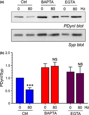 <t>Dynamin</t> I dephosphorylation is arrested by BAPTA ‐ AM and <t>EGTA</t> ‐ AM . Cultures were preincubated with BAPTA ‐ AM , EGTA ‐ AM (both 100 μM) or DMSO (vehicle control) for 30 min. They were then either stimulated with a train of 800 action potentials (80 Hz) or left to rest for 10 s. Cultures were then immediately lysed in SDS sample buffer. (a) Representative immunoblots of cerebellar granule neuron lysates probed with either dynamin I phospho‐Ser774 ( PD ynI) or synaptophysin (Syp) antibodies. (b) Quantification of PD ynI levels after normalisation against Syp ( PD ynI/Syp) ± SEM . Blue bars represent Ctrl, red bars BAPTA ‐ AM and purple bars EGTA ‐ AM , *** p