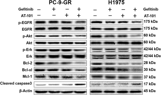The enhanced therapeutic effect of AT-101 on gefitinib in NSCLC cells with the T790M mutation through inhibition of antiapoptotic proteins and molecules of EGFR pathway. PC-9-GR and H1975 cells were treated with 5 μM AT-101, 1μM gefitinib or a combination as indicated for 12 hours. Western blot analysis was performed to detect the expression of p-EGFR, EGFR, p-Akt, Akt, p-Erk, Erk, Bcl-2, Bcl-xl, Mcl-1, and cleaved caspase 3. β-actin was used as the loading control