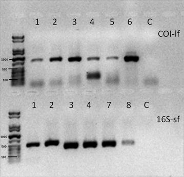 Representative image of an agarose gel electrophoresis for the <t>amplicons</t> COI-lf and 16S-sf ( 1 = A. brevispinosa 37,334 A2, 2 = A. brevispinosa 37,334 A1, 3 = A. arbustorum 86,813 A2, 4 = A. arbustorum 100,810 A1, 5 = D. polymorpha 101,850, 6 = D. polymorpha 83,846 B1, 7 = H. pomatia 74,402 B2, 8 = P. planorbis 84,060 A2, C = Negative control)