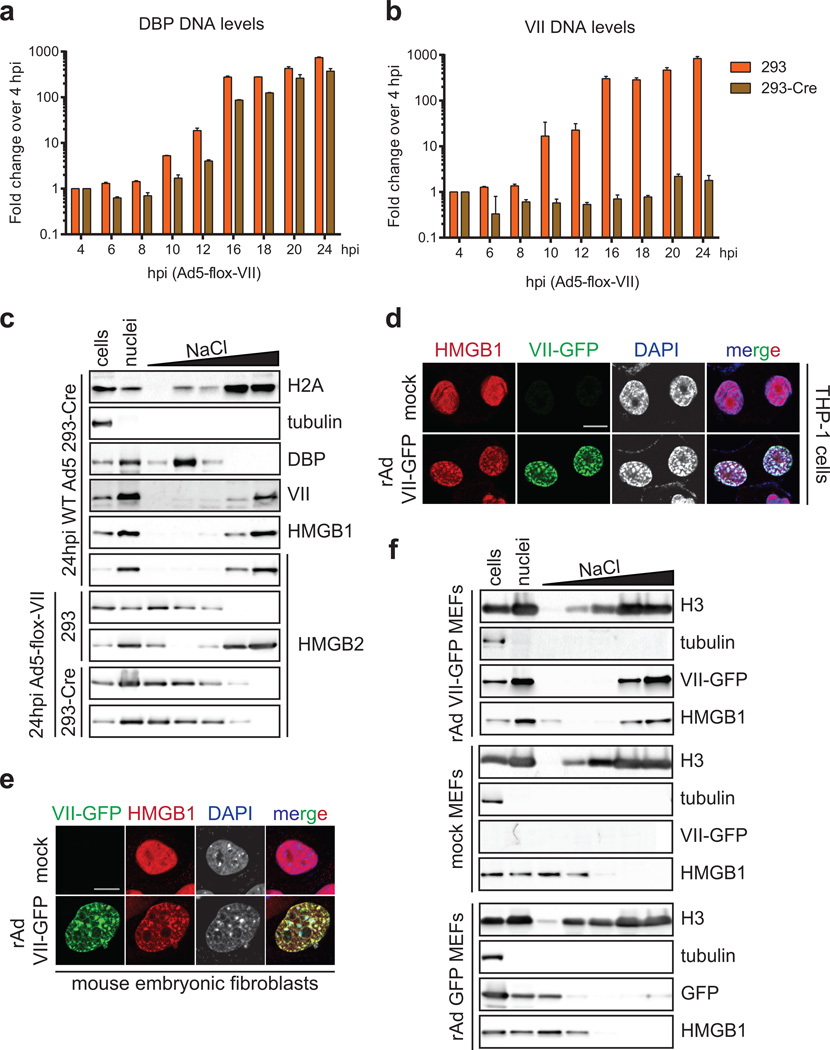 Protein VII is necessary and sufficient for chromatin retention of HMGB1 in human and mouse cells a–b , Replication of Ad5-flox-VII virus on 293 or 293-Cre cells. Quantitative PCR analysis of viral genomic DNA over a time-course of infection ( a ) shows the DBP gene is increasing exponentially in 293 and 293-Cre cells when infected with Ad5-f lox-VII virus. In contrast, PCR for the protein VII gene ( b ) demonstrates deletion in 293-Cre cells (n biological =2, error bar=±s.d.). c , Salt fractionation of 293-Cre cells infected with wild-type Ad5 indicating that the Cre recombinase does not interfere with the ability of protein VII to retain HMGB1 in the high salt chromatin fraction. Protein VII is also necessary for the chromatin retention of HMGB2. d , THP-1 cells transduced to express protein VII-GFP results in chromatin distortion and HMGB1 retention in chromatin. Immunofluorescence of transduced PMA-treated THP-1 cells showing protein VII-GFP (green), HMGB1 (red) and DNA (grey, blue in merge). e , Transduction to express protein VII-GFP is sufficient to relocalize mouse HMGB1 in mouse embryonic fibroblast (MEF) cells. f , Salt fractionation of mouse embryonic fibroblast cells transduced to express protein VII-GFP. Human Ad5 protein VII is sufficient to retain mouse HMGB1 in the high salt fraction in MEF cells. The control vector expressing GFP alone does not have this effect.