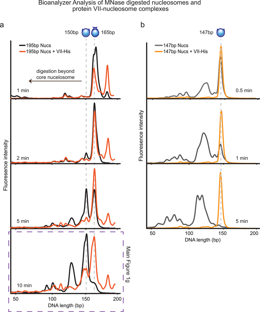 Bioanalyzer examination of <t>MNase</t> digested nucleosomes and protein VII-nucleosome complexes a , 195bp Nucleosomes or protein VII-nucleosome complexes were incubated with MNase for the indicated times, the reaction was stopped, <t>DNA</t> extracted and analyzed. As in Fig 1g , nucleosomes are shown in black and protein VII-nucleosome complexes in orange. The presence of protein VII pauses digestion at 165bp, suggesting that protein VII is blocking access to the DNA. b , 147bp nucleosomes or protein VII-nucleosome complexes were incubated with MNase for the indicated times, the reaction was stopped, DNA extracted and analyzed. Graphs show nucleosomes in grey and protein VII-nucleosome complexes in orange. The presence of protein VII completely blocks digestion even after nucleosomes alone have been digested well beyond the core particle. In contrast to what would be expected for linker histones, protein VII protects the core nucleosome particle from digestion. These data indicate that protein VII may be masking the substrate for MNase through complex formation. This represents a unique mechanism of nucleosome binding and suggests a model for blocking DNA access in cellular chromatin during infection.