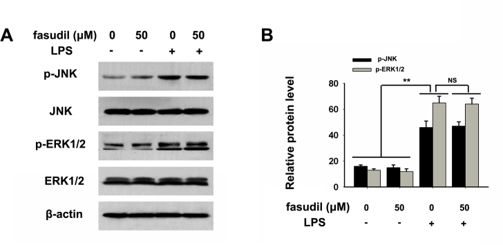 Fasudil did not affect the LPS-stimulated phosphorylation of ERK1/2 and JNK in RMG cells. A : The protein levels of p44/42 (Erk1/2), phospho-ERK1/2 (p-ERK1/2), c-Jun N-terminal kinase (JNK), and phospho-JNK (p-JNK) in lipopolysaccharide (LPS)-stimulated and/or fasudil-treated retinal microglial (RMG) cells. B : The relative protein band intensities were quantified with densitometric analyses and normalized to β-actin, p-JNK, JNK, p-ERK1/2, and ERK1/2. Values represent the means ± standard deviation (SD) of three independent experiments performed in triplicate. **p
