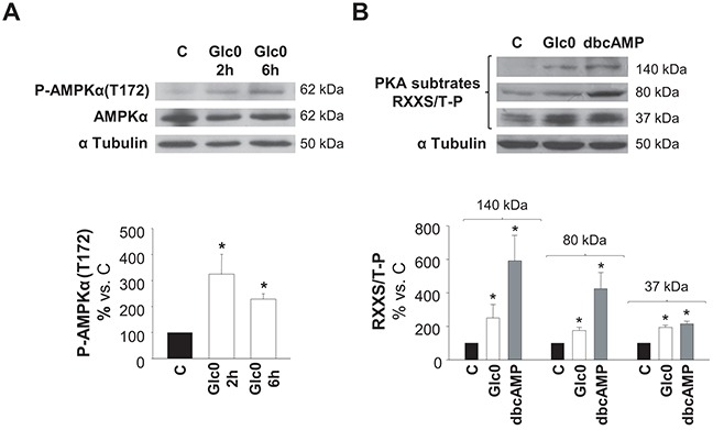 AMPK and PKA activation during glucose restriction C3A cells were incubated with 4.5 g/L glucose DMEM (C) or with no-glucose DMEM (Glc0). Cell lysates were obtained and analyzed by western blotting. A. Protein levels of P-AMPKα(T172) and AMPKα were detected at 2 and 6 h of glucose deprivation. B. Phosphorylated PKA substrates (RXXS/T-P residues) were detected after 2 h of treatments. Cells incubated with 100 μM dbcAMP (dbcAMP) were used as positive control of PKA phosphorylation. Bars represent band densities of PKA substrates weighted 37, 80 and 140 kDa. α Tubulin was used as loading control. Values represent the mean ± SEM of 3 experiments. * P