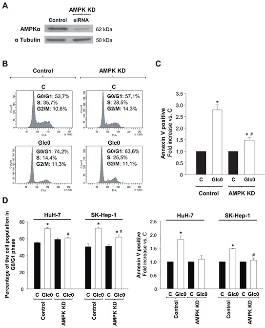 Effects of AMPK knock down on cell cycle progression and cell death during glucose deprivation in liver cancer cells C3A (A, B, C) HuH-7 and SK-Hep-1 (D) cells were transfected with a siRNA specifically targeted to AMPKα1 mRNA (AMPK KD), or with a siRNA control (Control), and allowed to grow for 48 hours. A. AMPKα expression was analyzed by western blot, in Control and AMPK KD cells. α Tubulin was used as loading control. In panels B, C and D control and AMPK KD cells were incubated with 4.5 g/L glucose DMEM (C) or with no-glucose DMEM (Glc0) during 24 h. B. Cells were fixed, stained with propidium iodide, and analyzed by flow cytometry. The figure shows typical outputs of the cytometric analysis and percentages of C3A cells in the different phases of the cell cycle, an experiment representative of 3 independent experiments. C. C3A cells were stained with Annexin V-FITC and propidium iodide (PI) and the percentages of apoptotic cells were determined by flow cytometry analysis. Bar charts represent increase in the percentages of cells undergoing apoptosis (Annexin V positive) relative to controls (C). Control apoptotic cells (mean value): 8%. Values represent the mean ± SEM of 3 experiments. * P