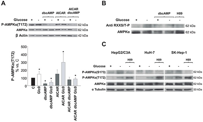 Regulation of AMPK activation by PKA phosphorylation in hepatic cancer cells C3A cells were incubated for 36 h (A) and 24 h (B) with 4.5 g/L glucose DMEM (C) or with no-glucose DMEM (Glc0). A. C and Glc0 cells were incubated in the absence or presence of 100 μM dbcAMP (dbcAMP) or/and 1 mM AICAR (AICAR). Cell lysates were obtained and analyzed by western blotting to determine protein levels of P-AMPKα(T172) and AMPKα. β Actin was used as loading control. Bars represent the mean ± SEM of 3 experiments. * P