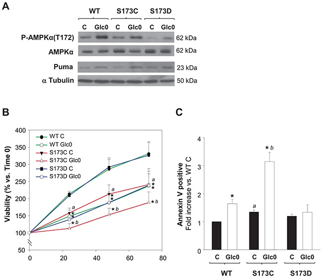 Disruption of AMPKα1(S173) increases cell death during glucose starvation in hepatocarcinoma derived cells C3A cells stably expressing either AMPKα1(S173C) (S173C), AMPKα1(S173D) (S173D) or wild type AMPKα1(S173) (WT) were incubated with 4.5 g/L glucose DMEM (C) or with no-glucose DMEM (Glc0). A. After 12 h of glucose deprivation cell lysates were obtained and analyzed by western blotting to determine protein levels of P-AMPKα(T172), AMPKα and Puma. α Tubulin was used as loading control. The blots in the picture are representative of 3 independent experiments. B. Cells attached to microplates were cultured for 0, 24, 48 and 72 h. MTT assay was performed as described in Materials and Methods . Results are presented as the percentage of the absorbance of the cells at 0 h. C. After 36 h cells were stained with Annexin V-FITC and propidium iodide (PI) and the percentages of apoptotic cells were determined by flow cytometry analysis. Bar charts represent fold increase respect to WT controls (WT C) in the proportion of cells undergoing apoptosis (Annexin V positive). WT C apoptotic cells (mean value): 9%. Values represent the mean ± SEM of 3 experiments. * P