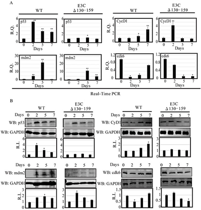 Analysis of mRNA and protein levels for p53, Mdm2, CyclinD1 and Cdk6 during EBV primary infection at 2, 5, and 7 dpi A. Human PBMCs were infected by BACEBV-GFPWT (WT) and EBVGFPΔE3C130-159 (ΔE3C130-159) virus and cells were harvested at 2, 5, and 7 days p.i. Total RNAs were extracted by using TRIzol (Invitrogen), and cDNAs were synthesized using a high capacity RNA-to-cDNA kit. The mRNA levels of p53, Mdm2, CyclinD1 and Cdk6 were quantified by qRT-PCR on a StepOnePlus real-time PCR system. B. The protein levels of p53, Mdm2, CyclinD1 and Cdk6 in PBMC infected with BACEBV-GFPWT and EBVGFPΔE3C130-159 virus at 2, 5 and 7 days p.i. were analyzed Western blot. dpi, days post-infection; RQ, relative quantity; RI, relative intensity. *P