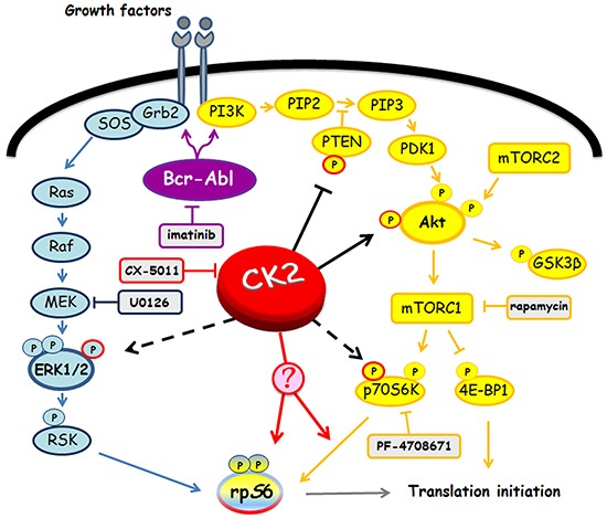 Involvement of Bcr-Abl and CK2 in <t>MEK/ERK1/2</t> and PI3K/Akt/mTOR/p70S6K pathways Figure highlights signalling proteins affected by Bcr-Abl and CK2. Arrows and tee-arrows indicate substrate-protein activation or inactivation, respectively. Dashed arrows mean that CK2-phosphorylation affects the protein translocation. Red arrows indicate that, as demonstrated by our results, CK2 promotes rpS6 phosphorylation acting downstream of p70S6K.